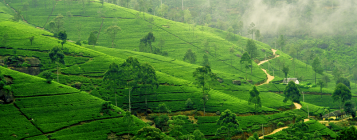 sri_lanka_tea